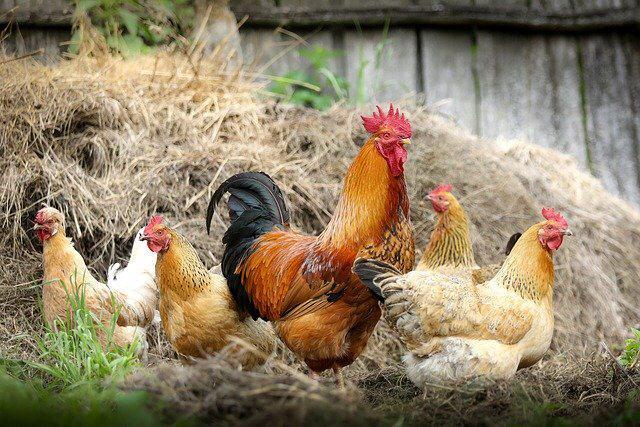 Gewichtsverlust zwischen lebendem und geschlachtetem Huhn